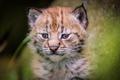 Картинка дикая кошка, глаза, несмышленыш, детеныш, мордашка, фон, малыш, рысёнок, кошка, дикая природа, портрет, рысенок, травинки, ...