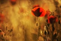 Картинка размытый фон, маки, мак, на просвет, лепестки, размытость, цветок, алые, красные, свет, цветы