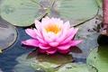 Картинка кувшинка, нимфея, водяная лилия