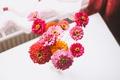 Картинка букет, лепестки, циния, цветы