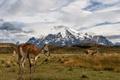 Картинка ламы, Chile, Torres del Paine