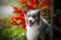 Картинка язык, морда, портрет, собака, боке, Австралийская овчарка, Аусси