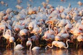 Картинка птицы, стая, фламинго