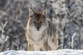 Картинка койот, зима, снег, луговой волк, взгляд, боке