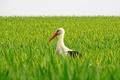 Картинка поле, птица, клюв, аист
