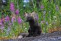 Картинка цветы, животное, трава, лисица, природа
