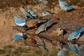 Картинка птицы, вода, странствующий дрозд, голубая сиалия