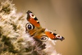 Картинка бабочка, крылья, vanessa