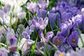 Картинка лепестки, весна, Шафран, Крокусы