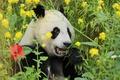 Картинка зелень, трава, панда