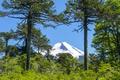 Картинка снежная, небо, солнце, голубое, зелень, кусты, деревья, Чили, гора, Conguillio National Park