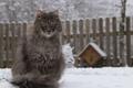 Картинка зима, шерсть, кошка