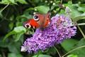 Картинка Macro, Бабочка, Цветочки, Макро, Butterfly, Purple flowers