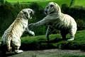 Картинка predator, Tiger, battle, animals