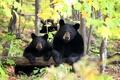 Картинка природа, медведи, лето