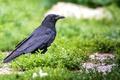 Картинка птица, ворон, трава