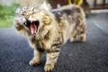 Картинка кот, фон, зевает