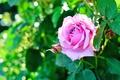 Картинка зелень, цветок, листья, цветы, розовая, роза, куст, сад, бутон, боке, яркая