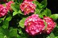 Картинка розовая гортензия, соцветия, листья