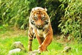 Картинка фон, Суматранский тигр, взгляд