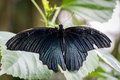 Картинка black, nature, blue, butterfly, animal, insect, malaysia