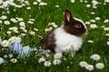 Картинка трава, ромашки, яйца, Пасха, кролик, крашенки, животное, цветы