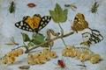 Картинка гусеница, смородина, бабочка, Насекомые и Фрукты, Ян ван Кессель старший, натюрморт, ягоды, масло, картина