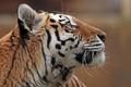 Картинка морда, профиль, амурский тигр