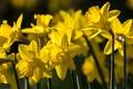 Картинка нарциссы, весна, жёлтые