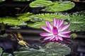 Картинка цветок, листья, вода, кувшинка