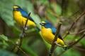 Картинка желто-синий, птичка, яркая, ветка