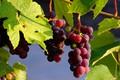 Картинка кисти, грозди винограда, природа, виноградник, виноград, листья