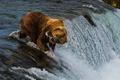 Картинка поток, улов, река, рыба, медведь
