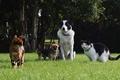 Картинка Чихуахуа, трава, лето, кошки, лужайка, зелень, деревья, Бордер-колли, домашние животные, собаки, парк