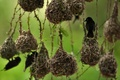 Картинка Queen Elizabeth National Park, ткачик, гнездо, птица, Уганда, Африка