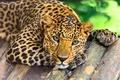 Картинка морда, хищник, взгляд, леопард