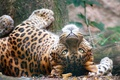 Картинка лес, кошки, большие кошки, дикие кошки, морда, взгляд, животные, поза, леопард, хищник, дикая природа, лежит, ...
