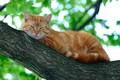 Картинка кот, на дереве, отдыхает, боке, листья, ветки, рыжий, природа, лежит