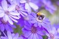 Картинка лепестки, насекомое, шмель, макро, Цинерария