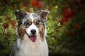 Картинка язык, морда, Австралийская овчарка, Аусси, взгляд, собака