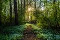 Картинка лес, солнце, деревья, цветы, тропа, весна, trees, forests, spring