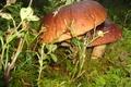 Картинка осень, лес, грибы, мох, боровики