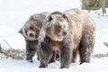 Картинка зима, природа, медведи
