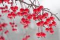 Картинка природа, ветка, ягоды
