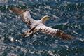 Картинка олуша, полёт, птицы, море