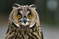 Картинка сова, фон, окрас, взгляд