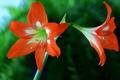 Картинка природа, амариллис, лепестки, макро, цветок