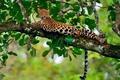 Картинка джунгли, отдых, листва, ветка, боке, леопард
