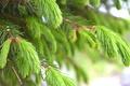 Картинка природа, зеленые, ель, иголки, дерево
