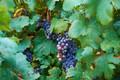 Картинка лето, листья, виногад